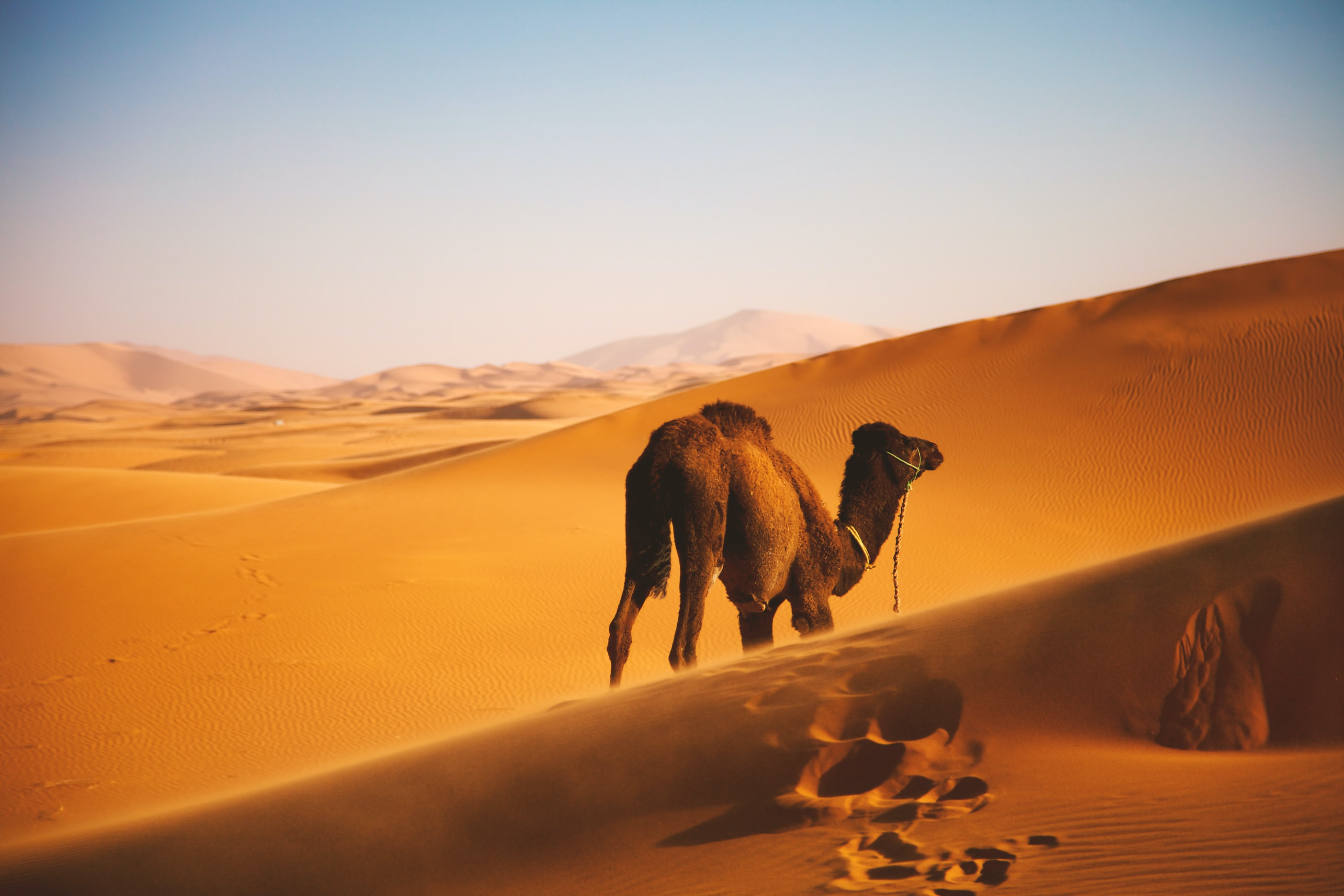 camel walking on desert