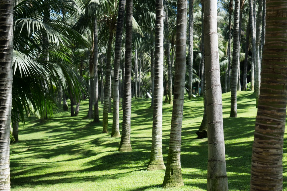 coconut trees at daytime