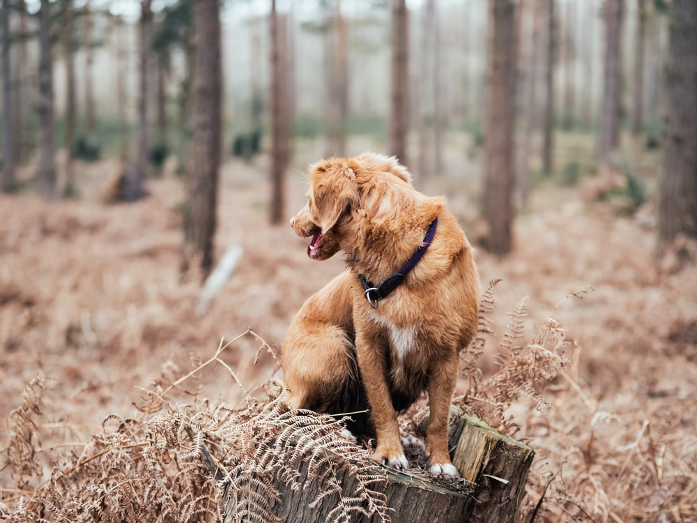 shallow focus photography of short-coated brown dog on brown log