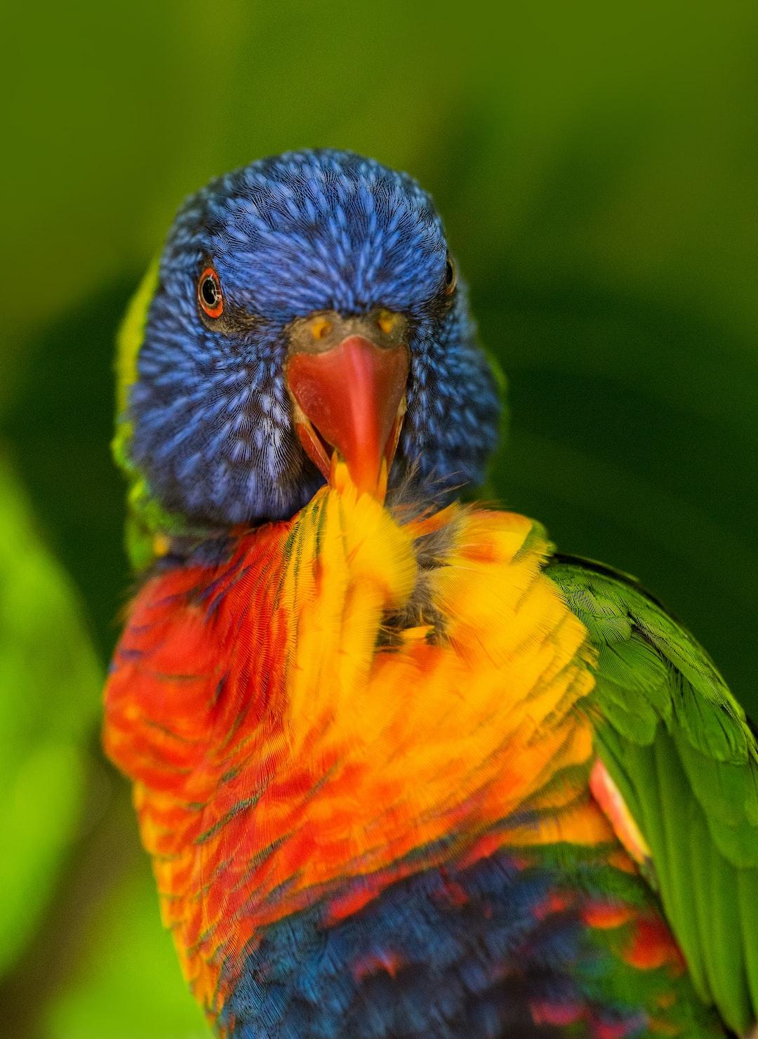 A Rainbow Lorikeet preens itself at Kuranda Birdworld, Australia.