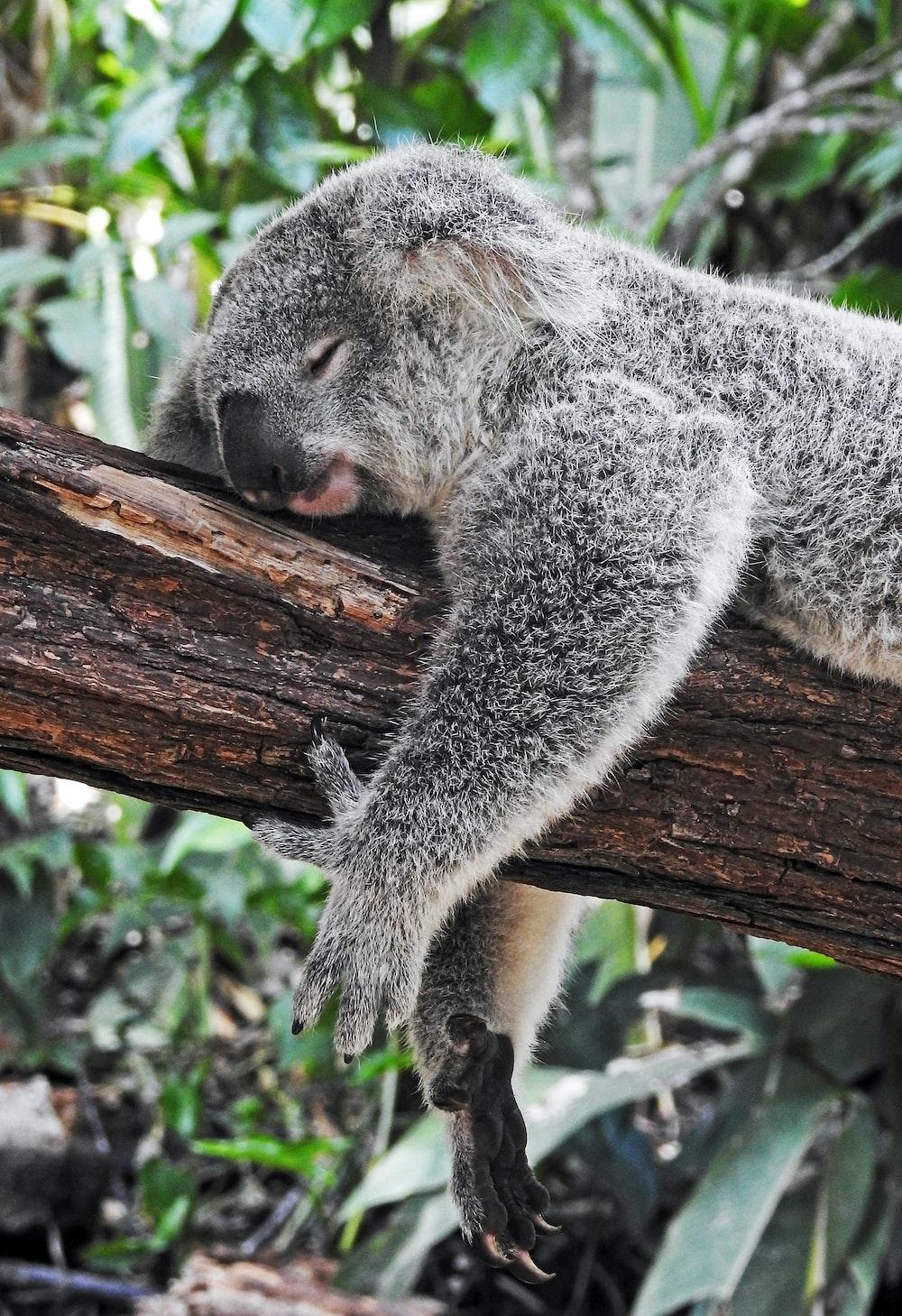 koala bear sleeping on tree