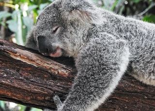 koala bear sleeping on tree