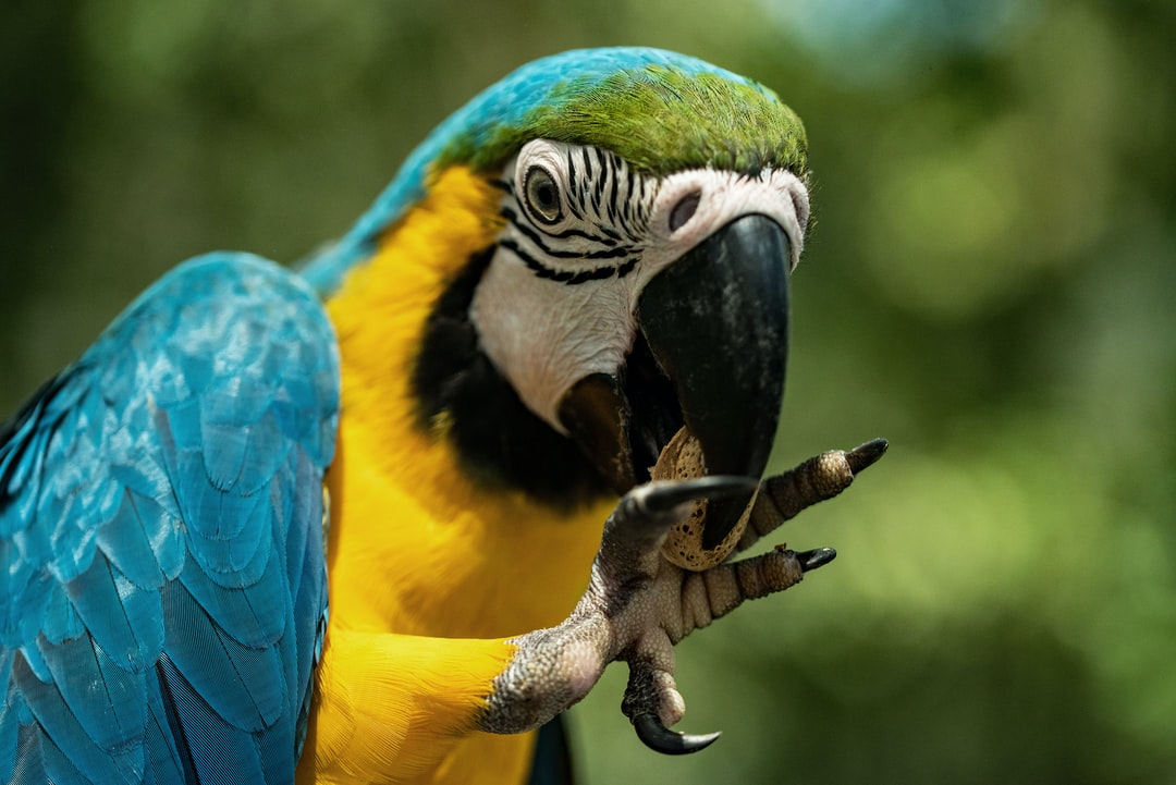 This blue and gold macaw took a while to get through the shell, and then dropped the nut onto the ground. I picked it up and gave it to back to the macaw, who treated the whole affair as if it was perfectly normally for humans to be running around doing errands for it.