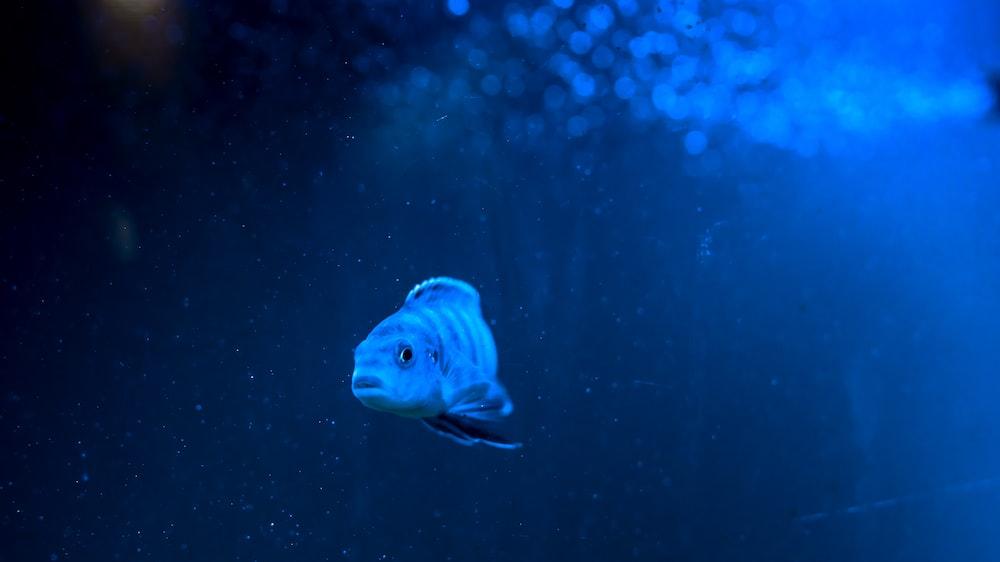 grey pet fish under water