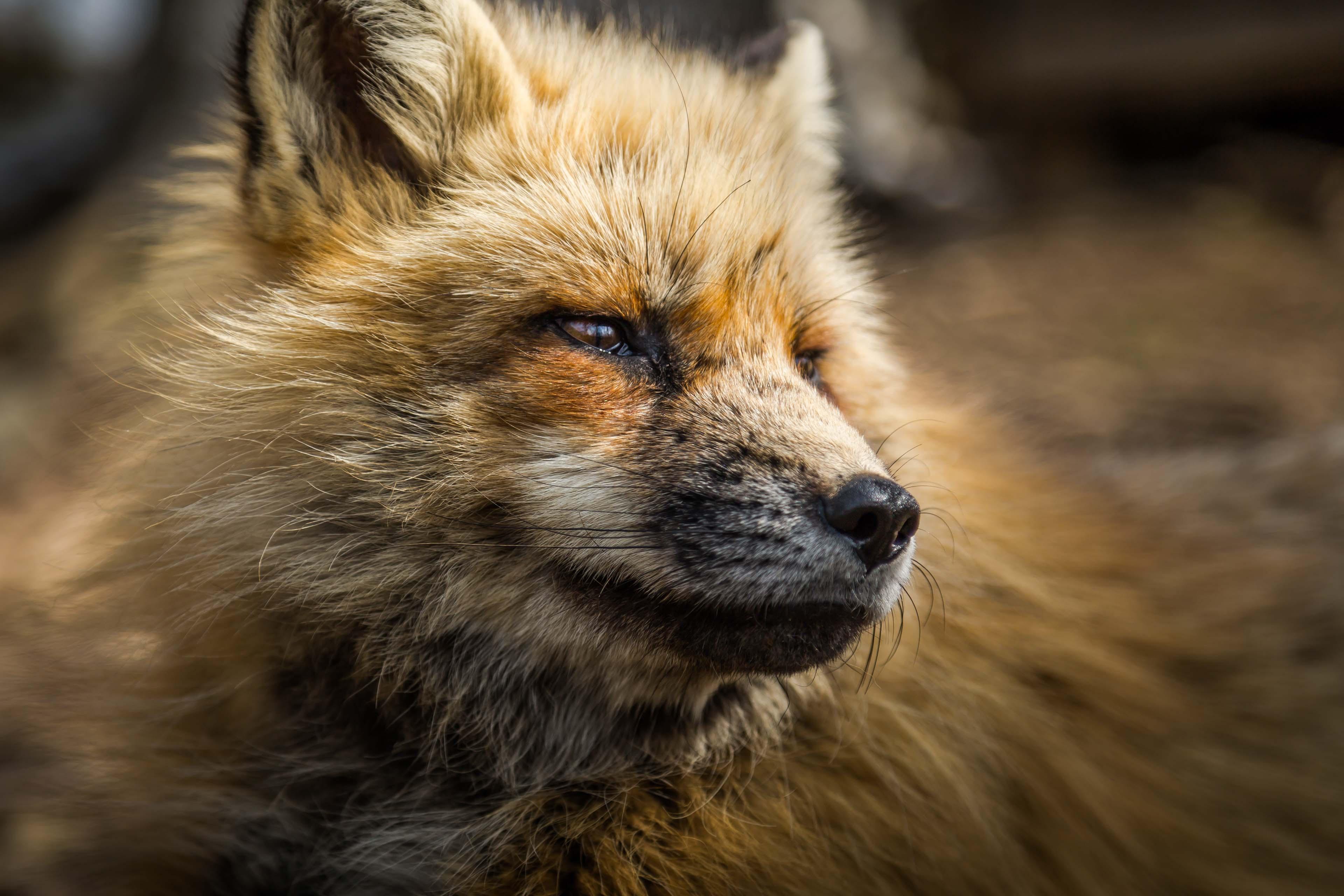 macro photography of fox