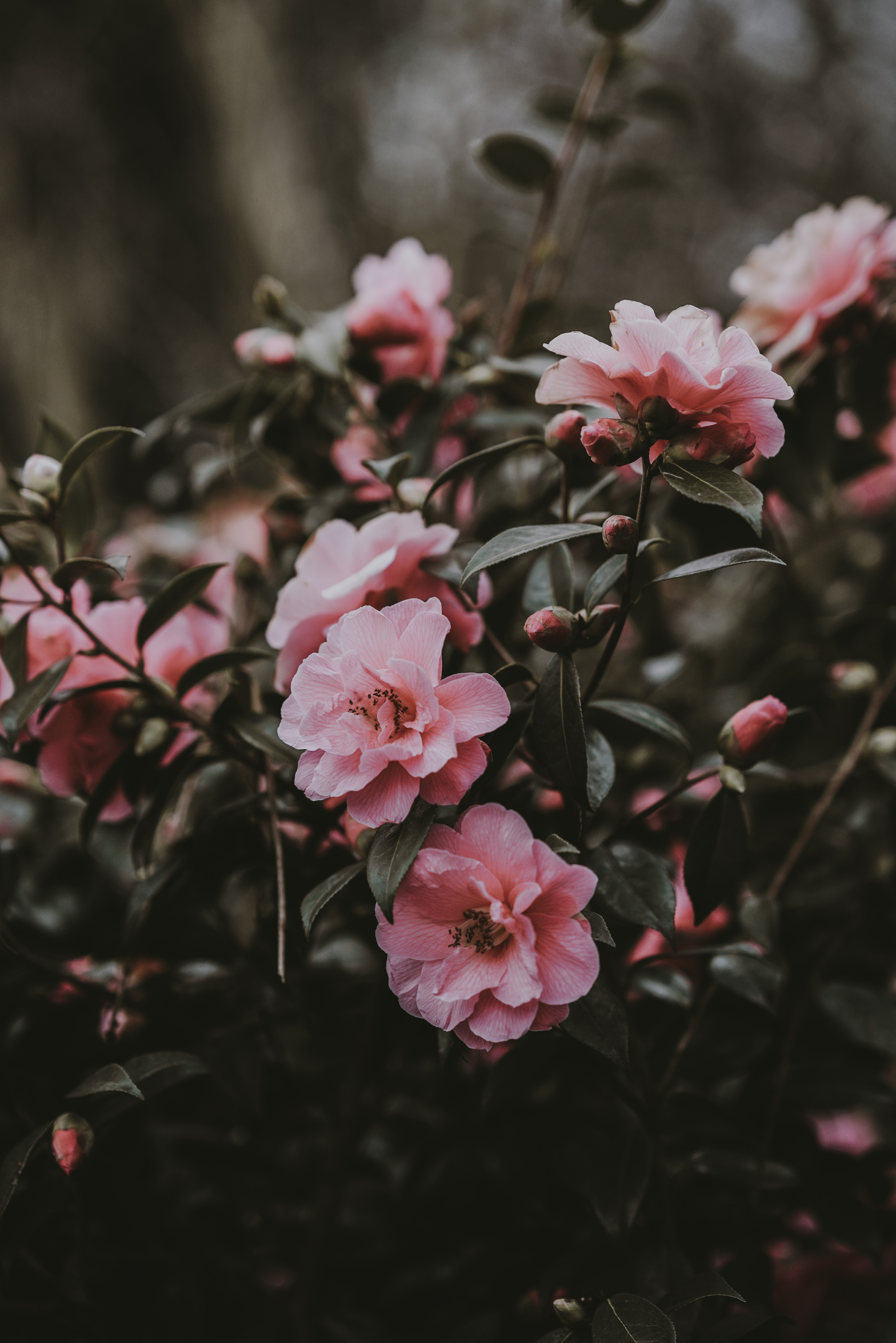 tilt shift photography of pink petaled flower