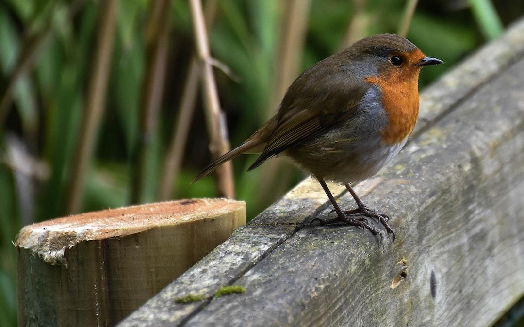 A robin posing for photos at Dublin Zoo