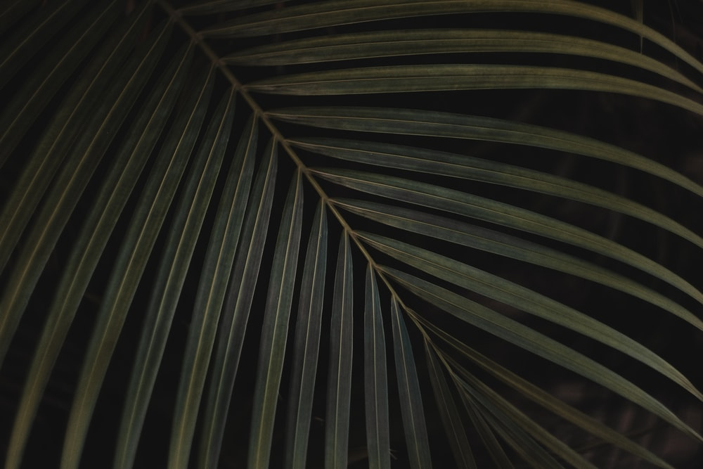 closeup photo of green linear leaf against black background