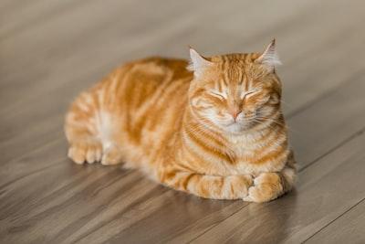 orange tabby cat on brown parquet floor cat teams background
