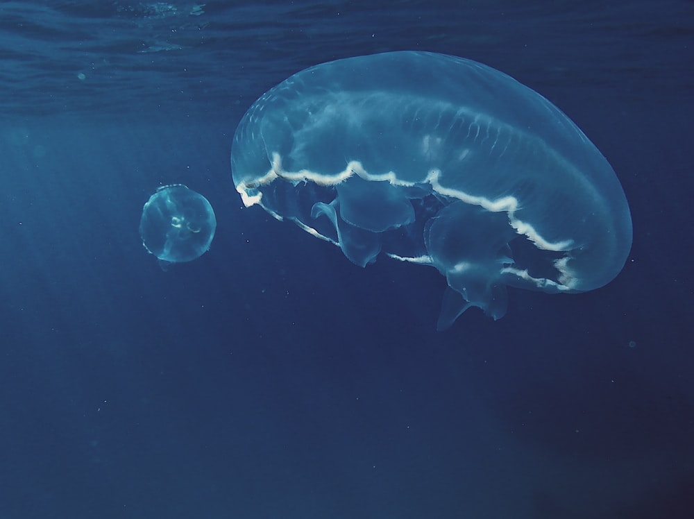 closeup photo of two white jellyfishes