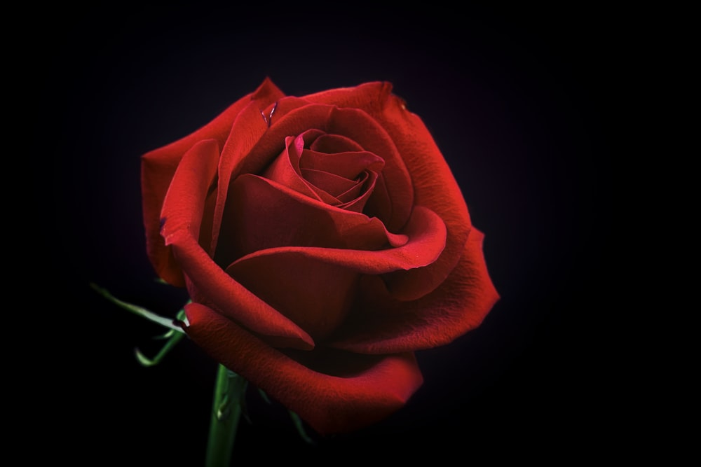 rose 1 best free rose flower red and macro photos on unsplash