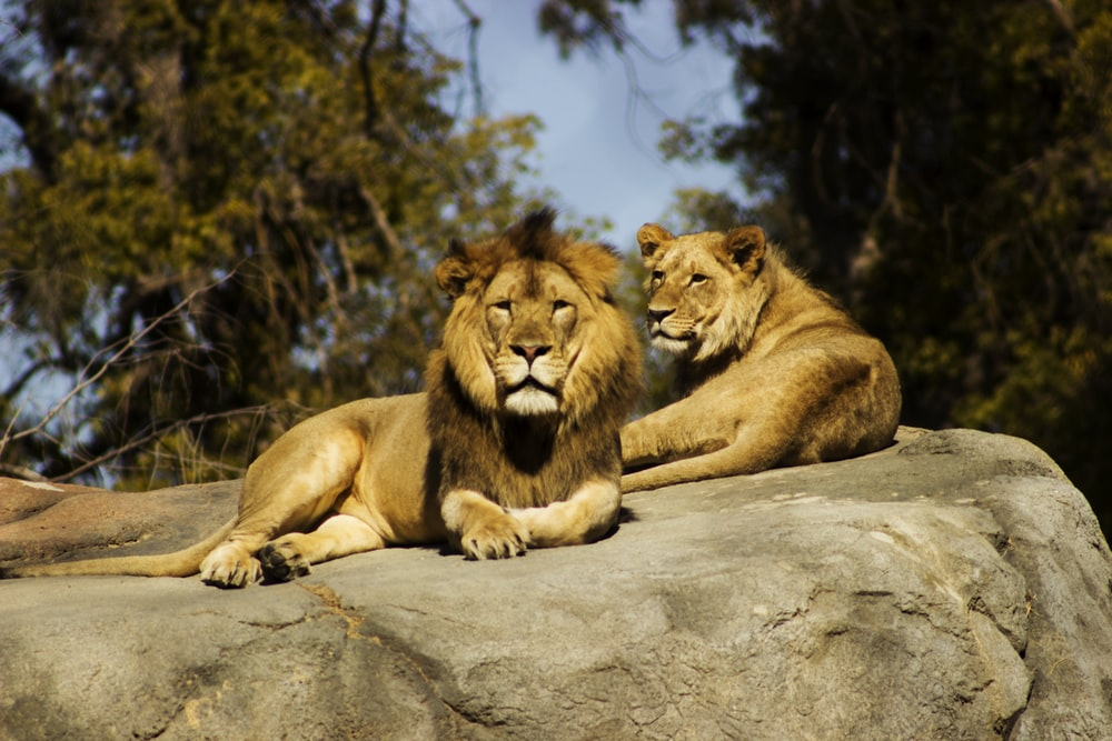 shallow focus photography of lion and lioness