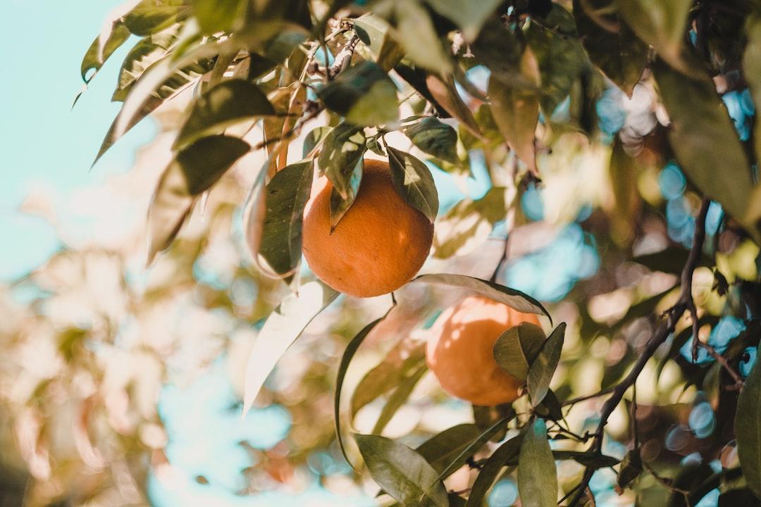 Orange Fruits on a Tree