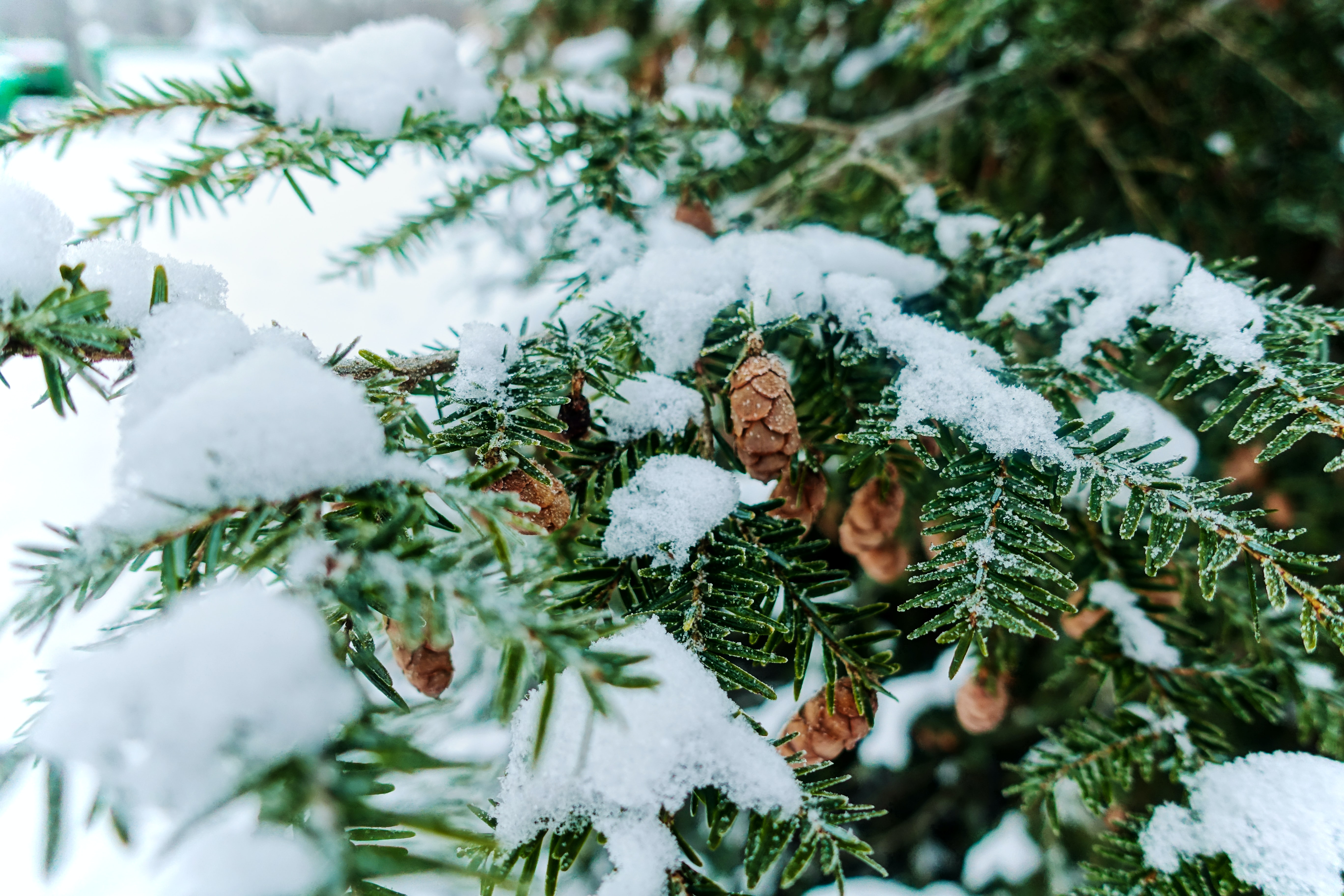 green and brown pinecone tree covered with snow