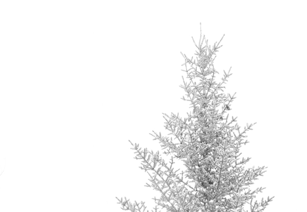 pine tree coated with snow