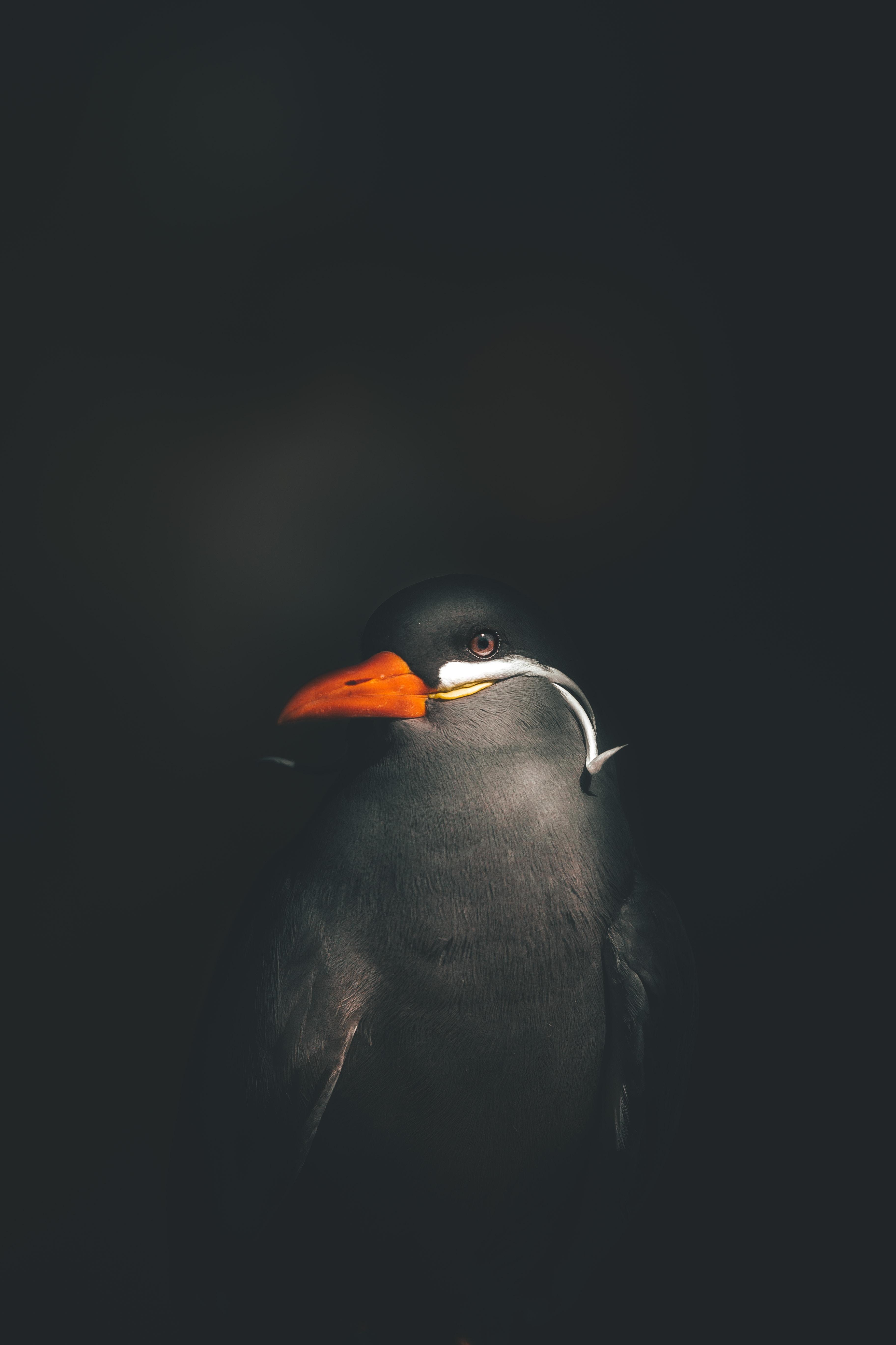 closeup photography of black and red beak bird