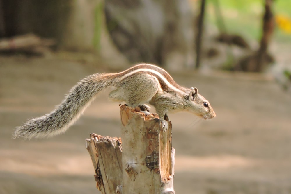 grey and brown squirrel on tree log at daytime