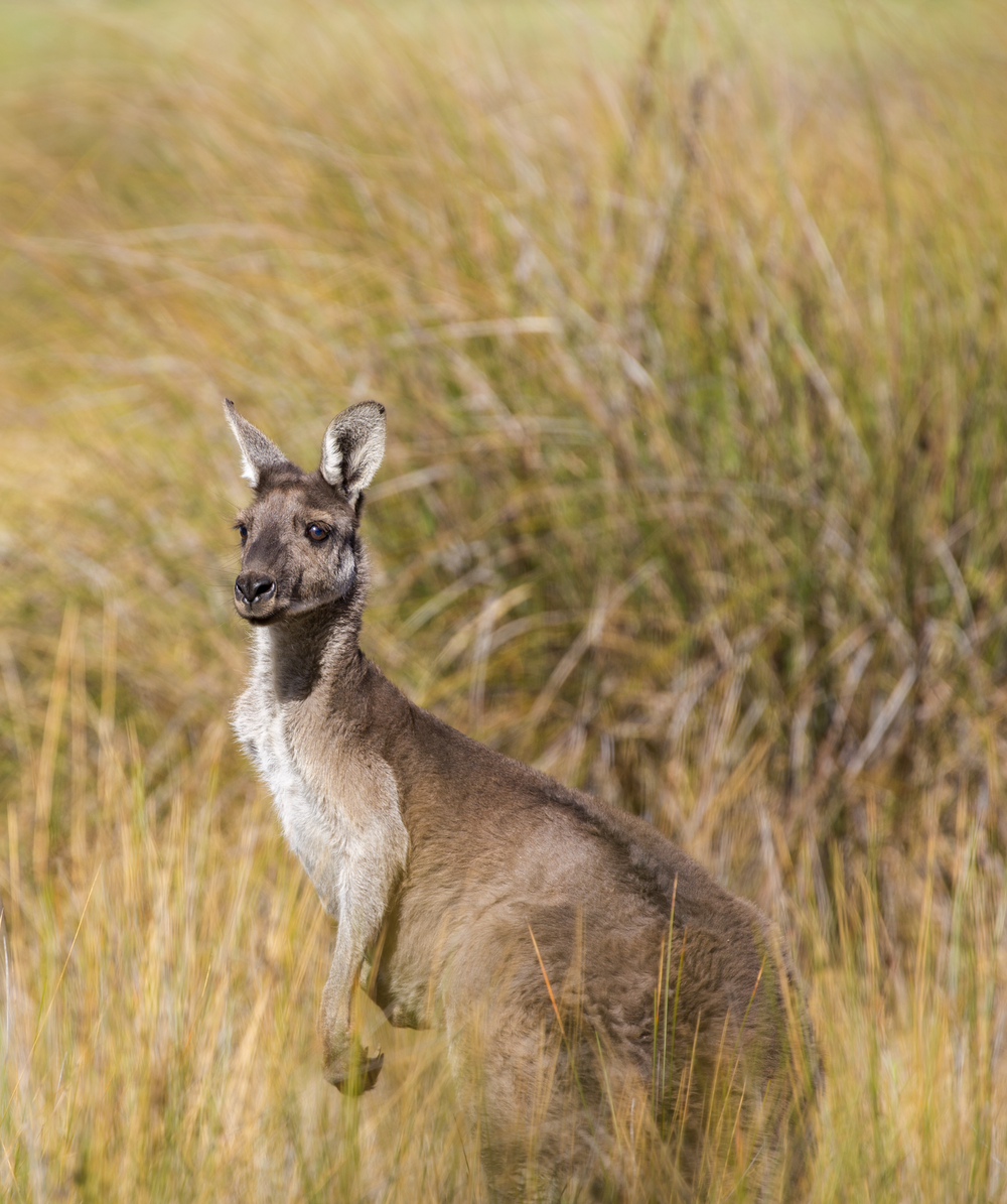 shallow focus photography of kangaroo