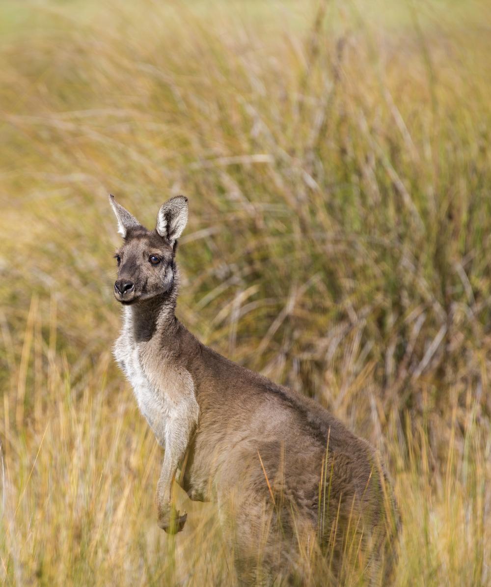 shallow focus photography of kangaroo