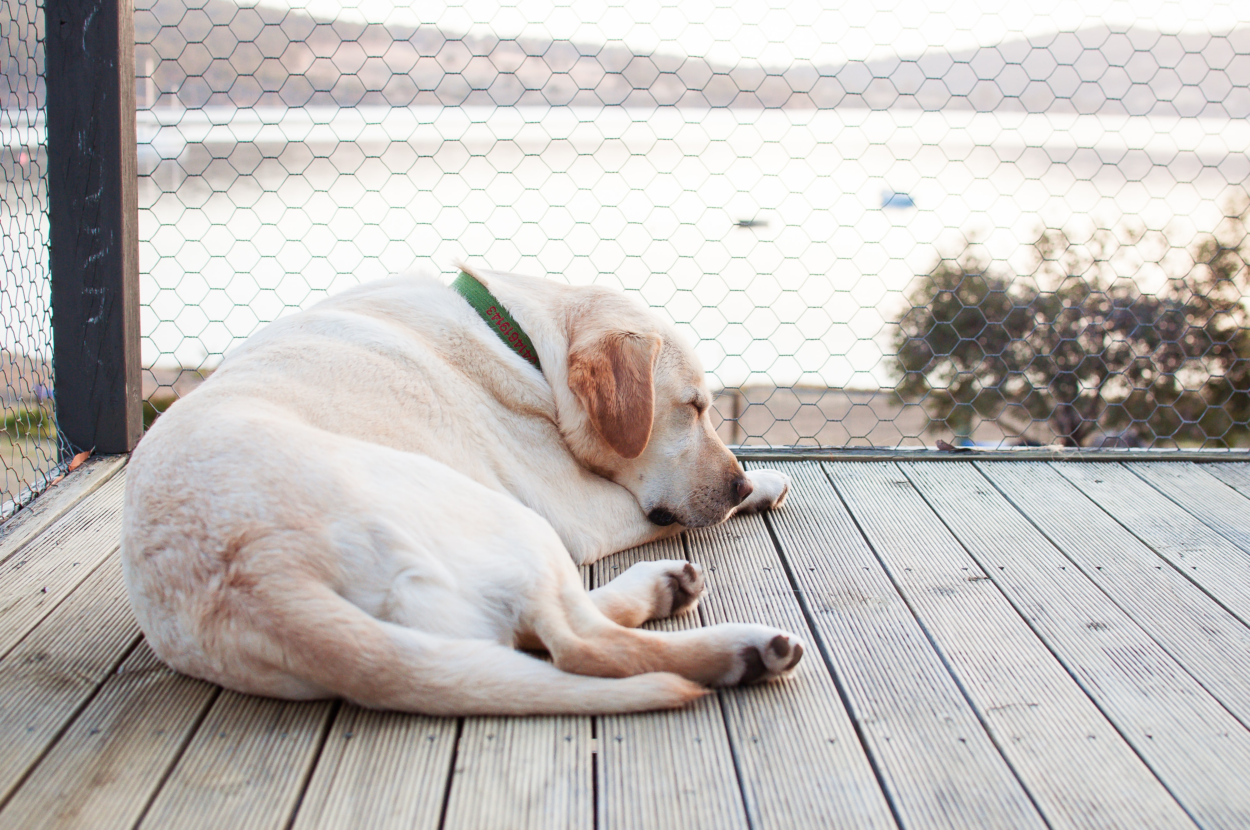 short-coated white dog sleeping on brown wooden dock during daytime