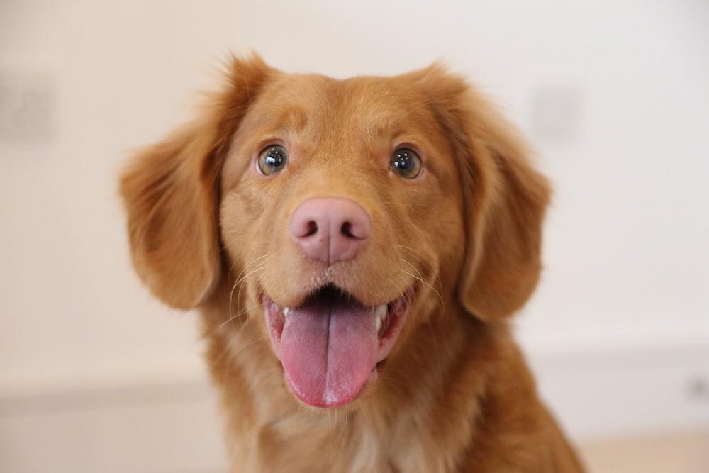 long-coat tan puppy