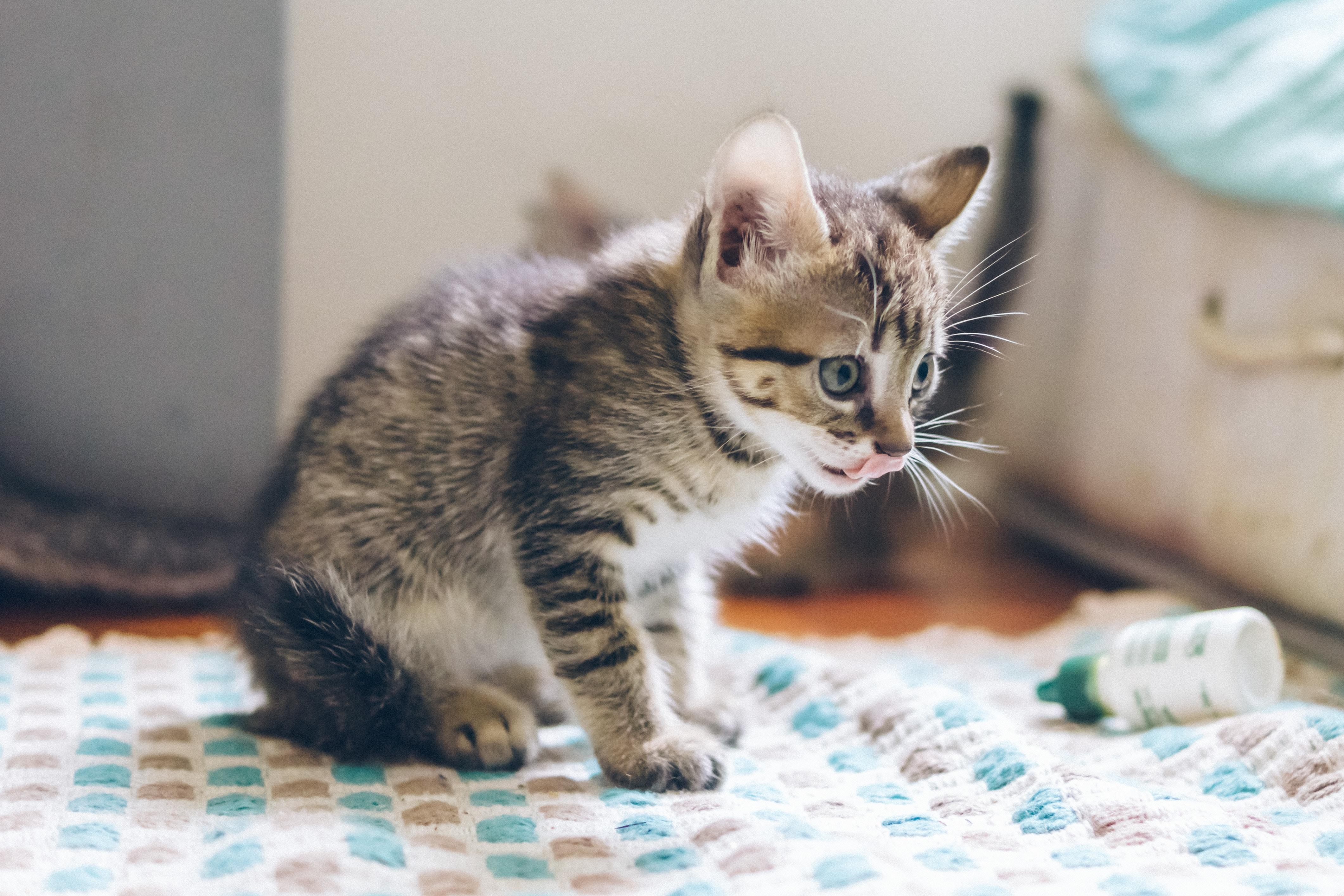 grey tabby kitten on white and blue mat