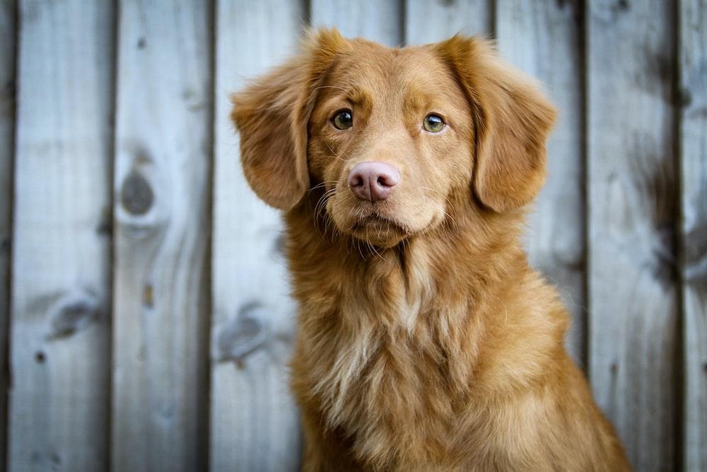 long-coated tan dog sitting near fence