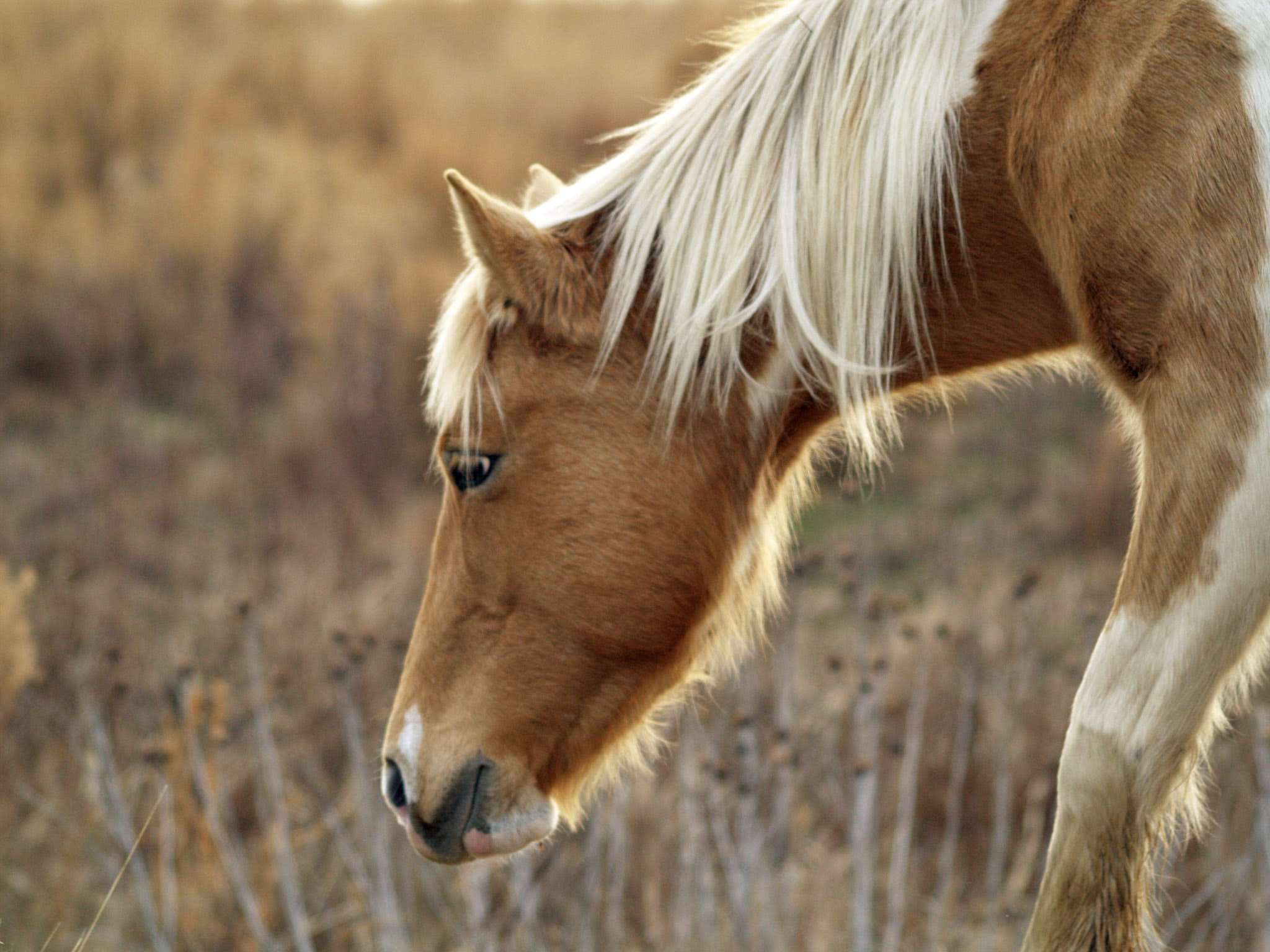 brown horse with white mane eating