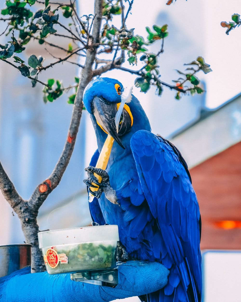 blue macaw holding toothbrush during daytime