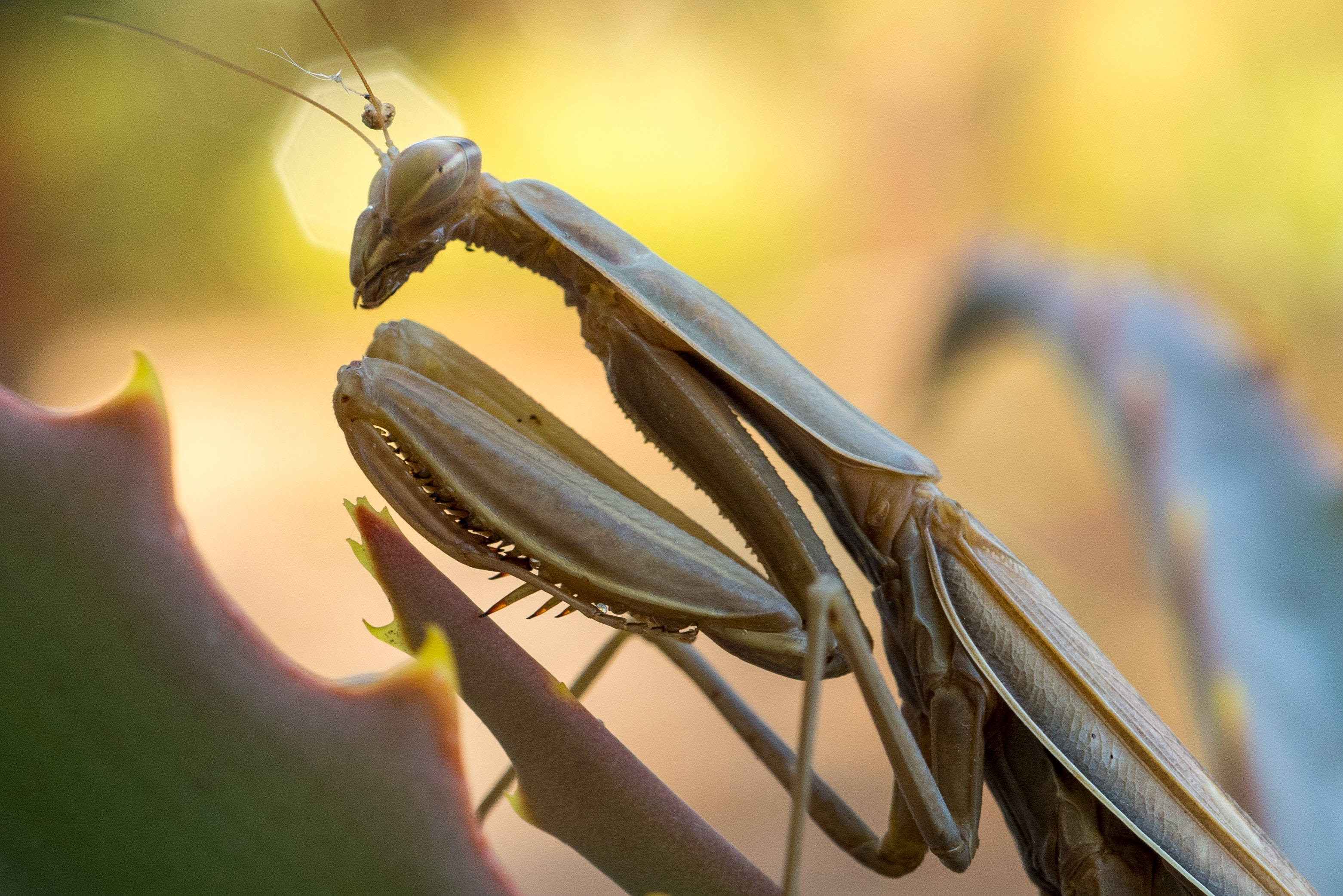 gray praying mantis micro photography