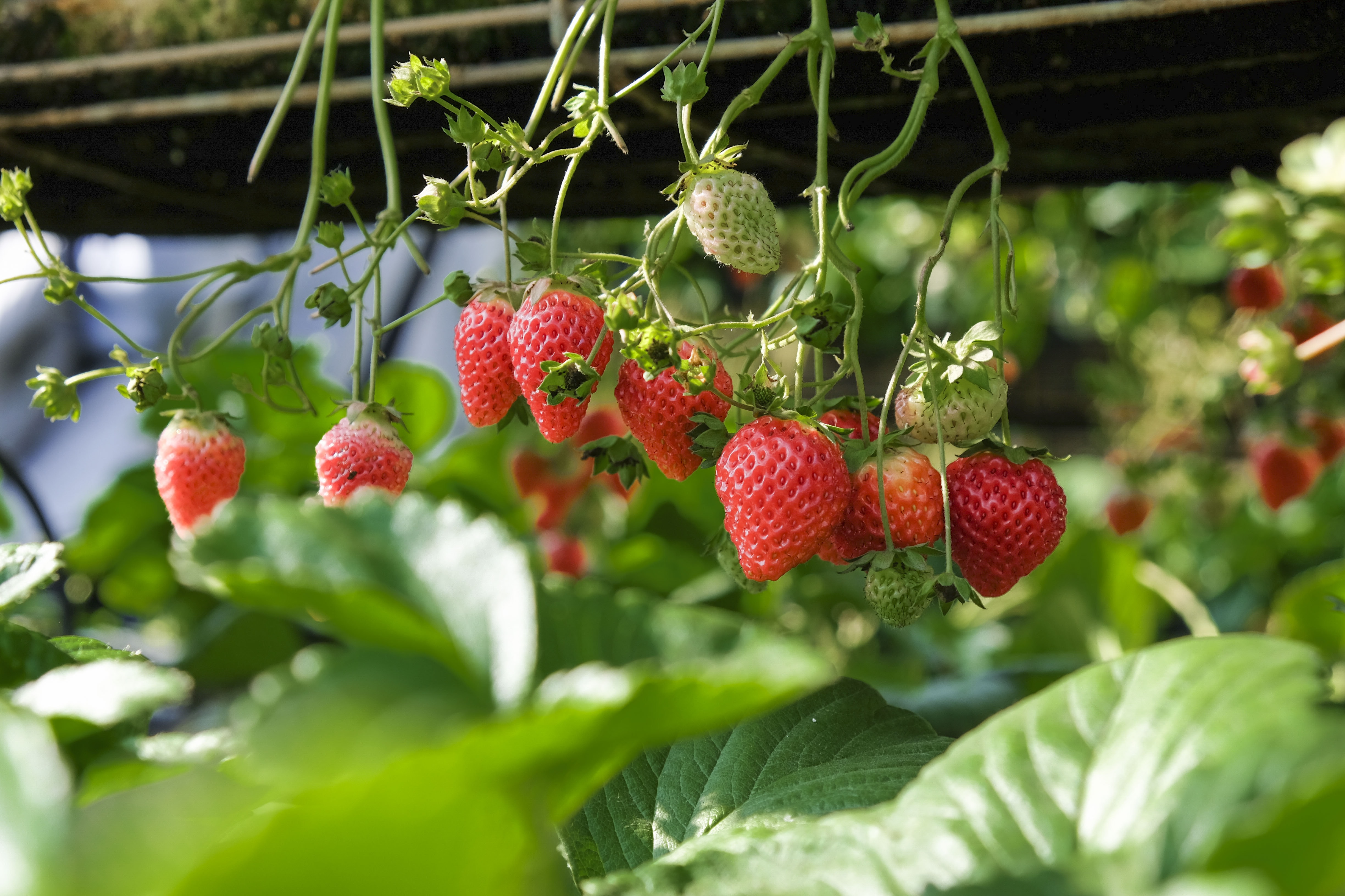 strawberries in shallow focus