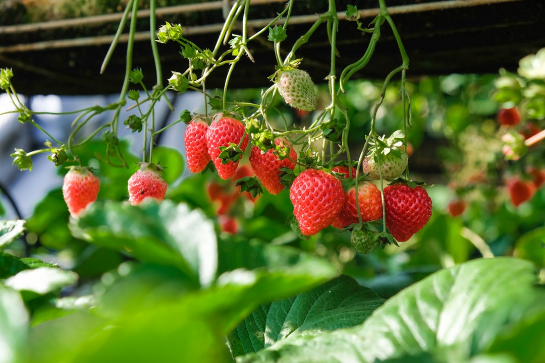 Who will pick the strawberries?: 3 use cases of machine learning on the edge in agriculture