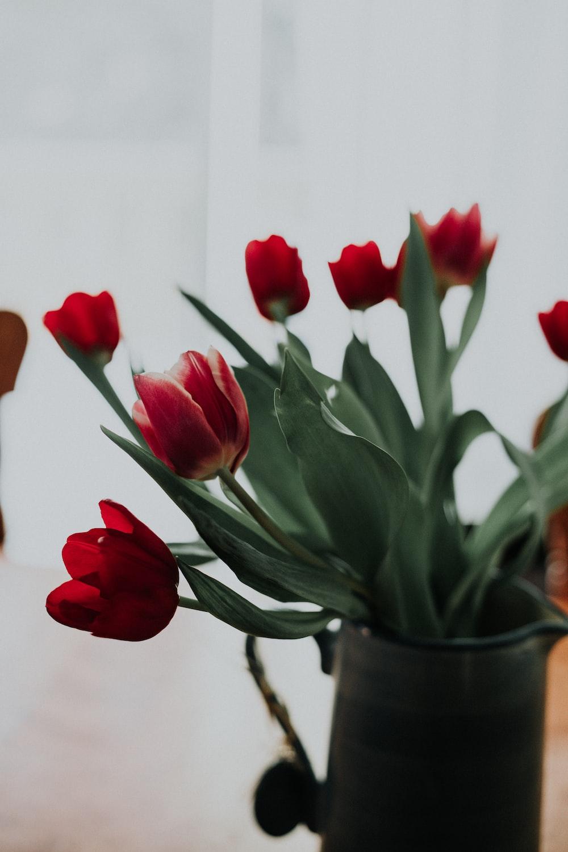 macro shot photography of red tulips