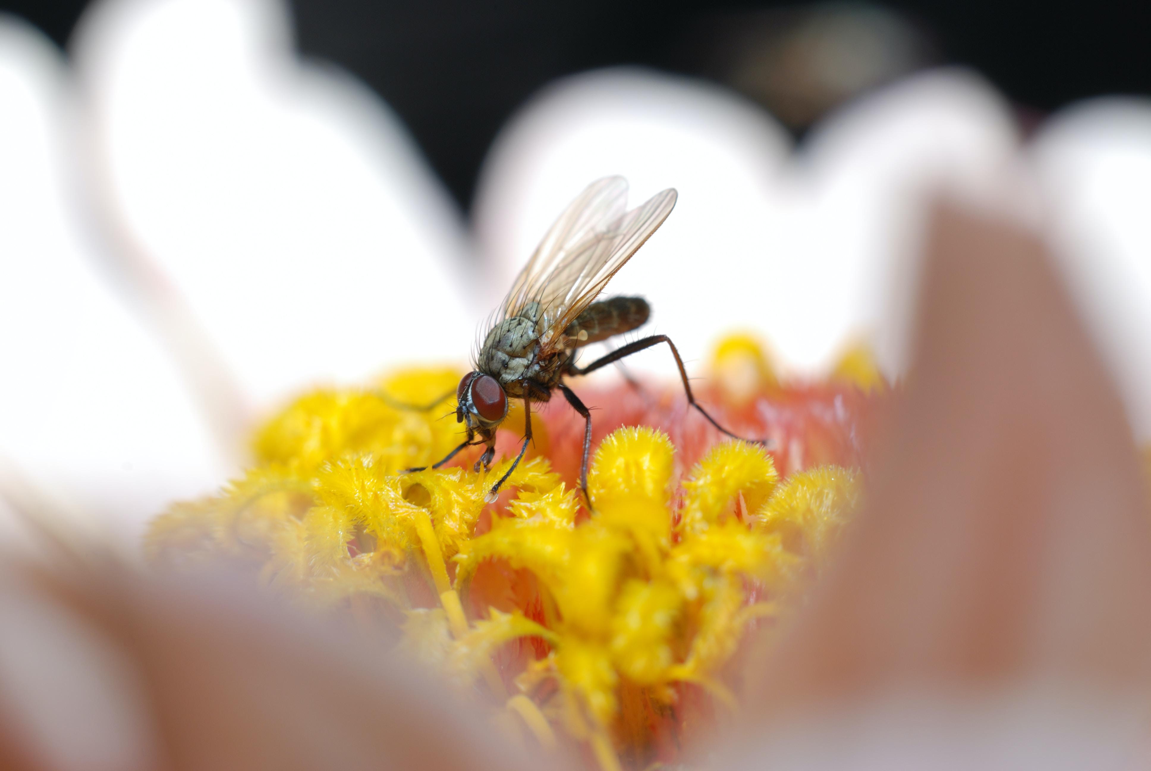 macro photography of fly on white daisy