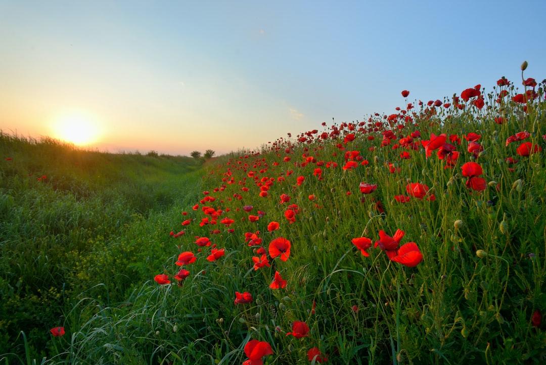poppy field in summer