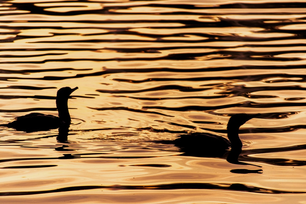 silhouette of ducks o body of water