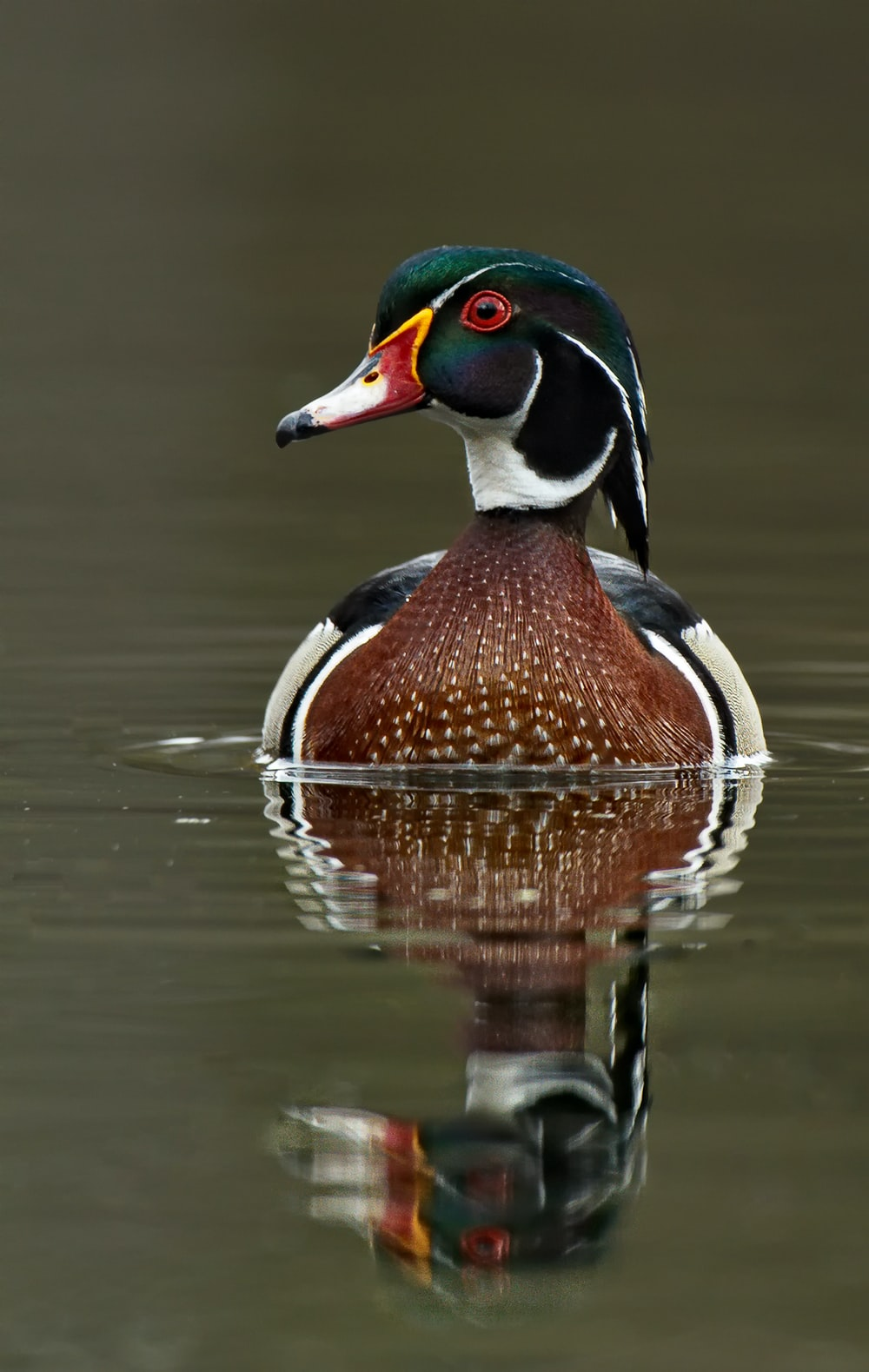 brown and red mallard duck on top of body of water
