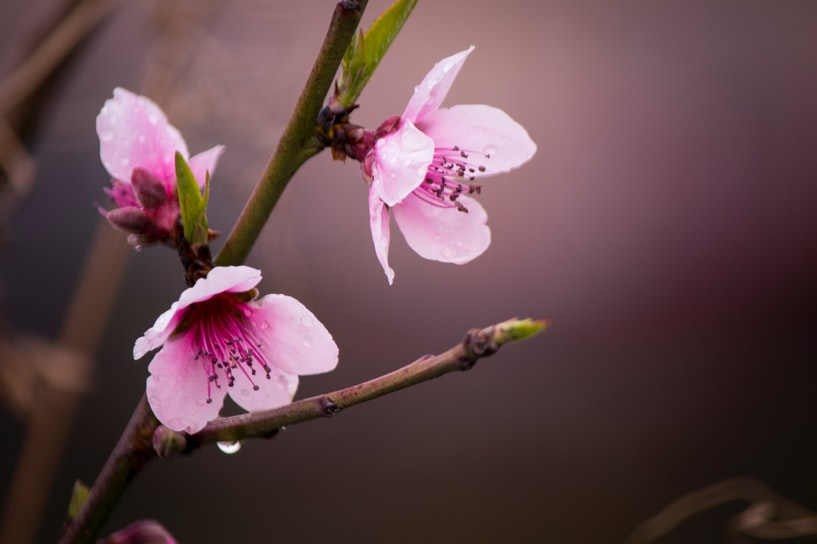 Pink blossoms on a branch with water droplets on the petals.