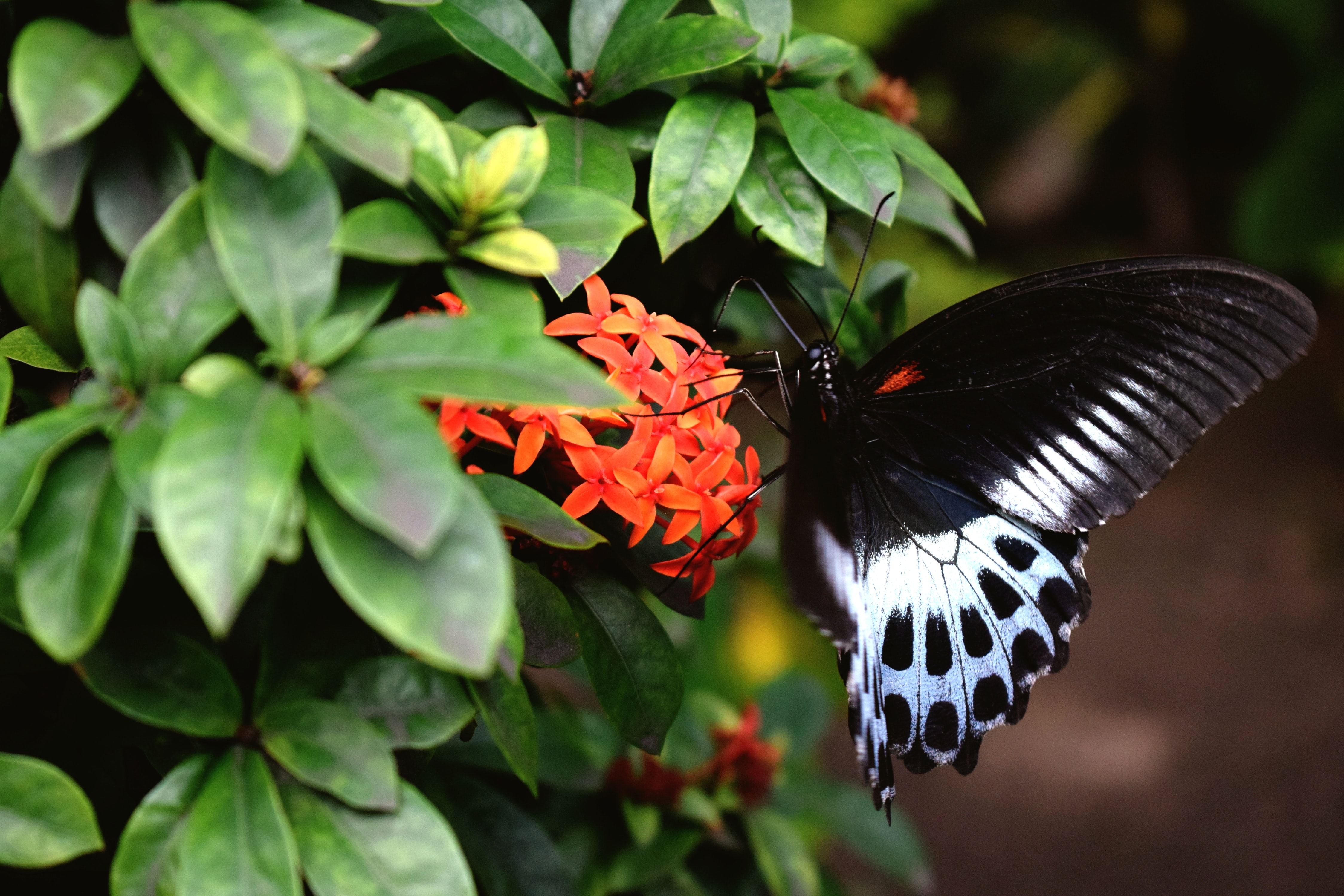 selective focus photo of white and black butterfly perched on red ixora flower