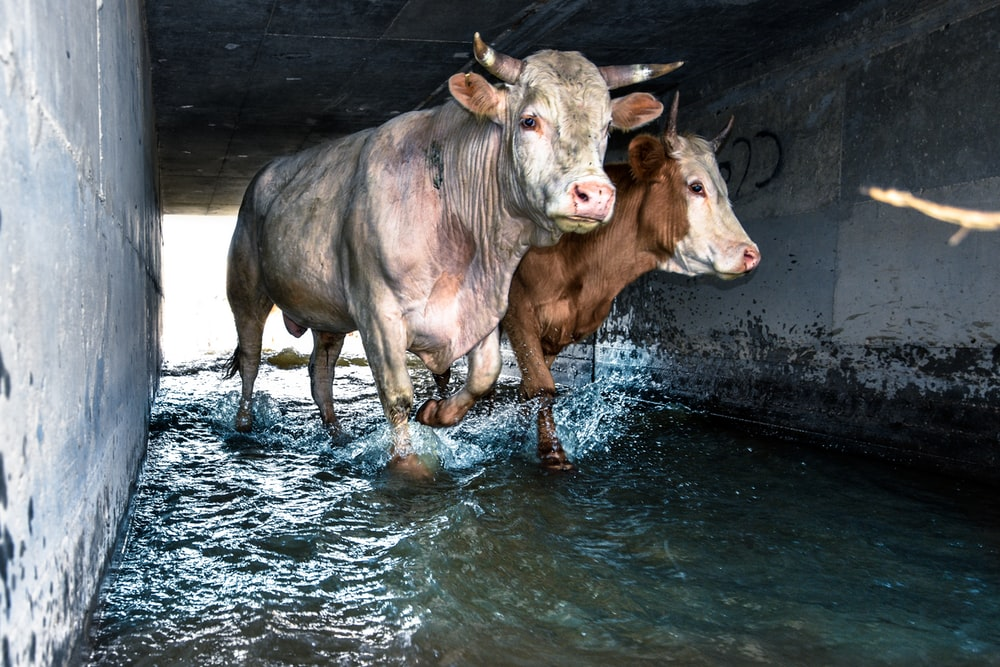 two brown and white cattle walking on body of water