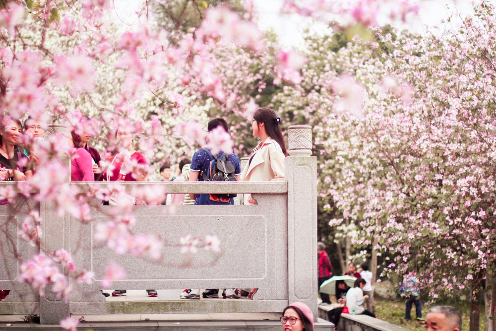 people walking on park with cherry blossom trees at daytime