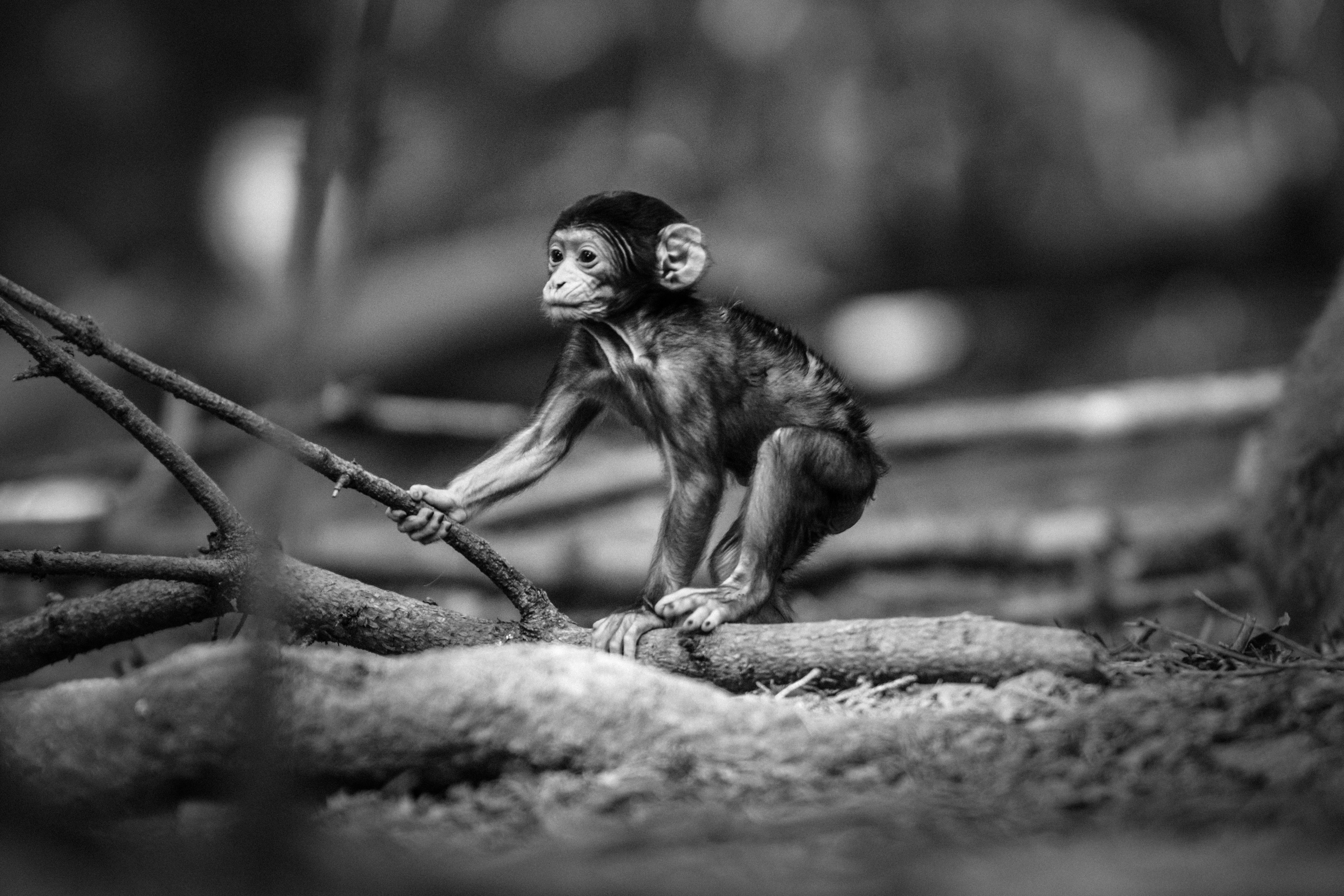 grayscale photography of monkey holding tree branch