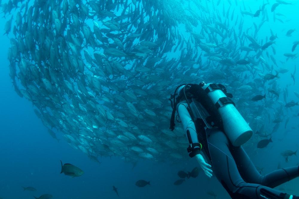 scuba diver watching school of gray fish underwater