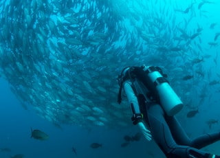 scuba diver watching school of gray fish underwater