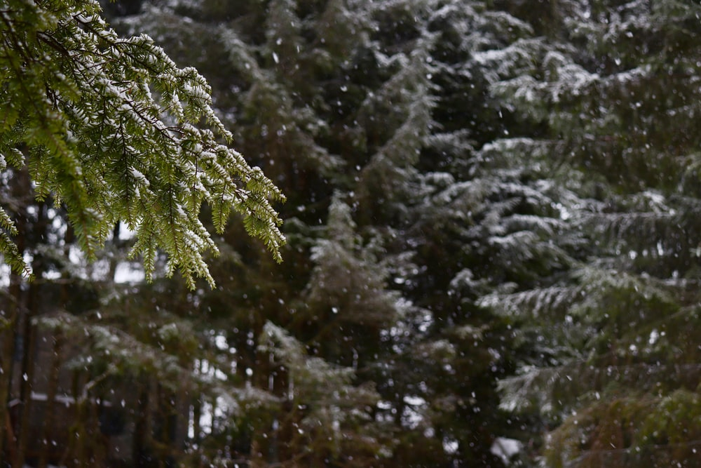 shallow focus photography of snow-covered pine trees