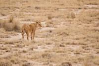 lioness at daytime