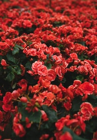 closeup photo of red petaled flower field
