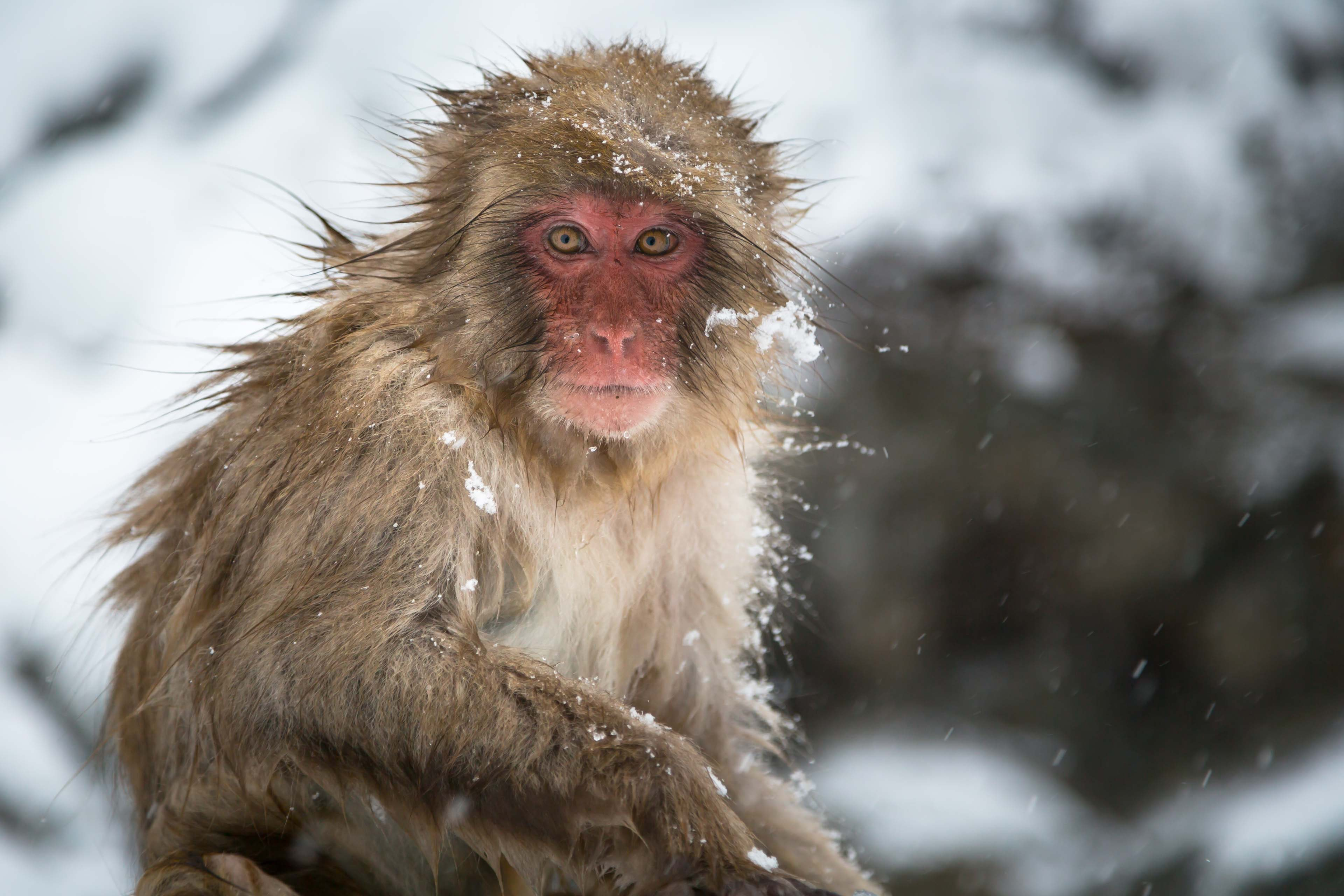 close photo of brown primate