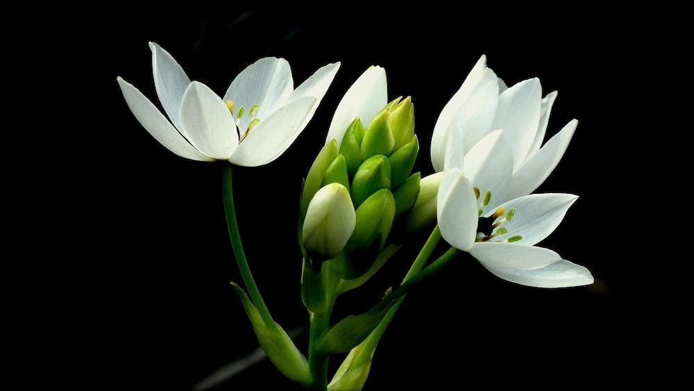 white star of Betlehem flowers closeup photography