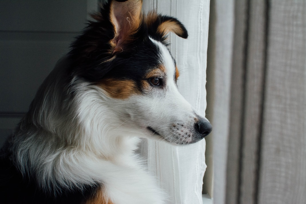 white, brown, and black dog looking outside